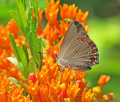 12 Days of Christmas Butterflies:  #8 Coral hairstreak (Vicki's Nature) Tags: red orange mountains canon butterfly georgia dof gray spots wildflowers s5 butterflyweed brasstownvalley coralhairstreak touchofred 0087 vickisnature 12daysofchristmasbutterflies2015