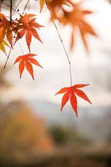 TOKUSHIMA DAYS - Kamiyama forest park (junog007) Tags: autumn nikon shikoku tokushima autumnalleaves d800 2470mm kamiyama nanocrystalcoat