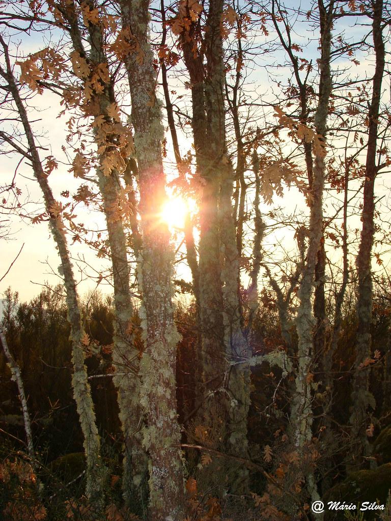 Águas Frias (Chaves) - ... pôr dosol entre as árvores ... - dez 11