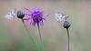Dambordje - Marbled White (Wim Boon (wimzilver)) Tags: canonef100mmf28lmacroisusm canoneos5dmarkiii marbledwhite dambordje vlinder butterfly germany duitsland macro macrofotografie