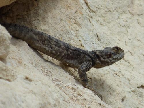 Uzuncaburc big lizard (2)