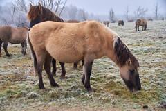 30-12-2016 - Oostvaardersplassen - DSC09396 (schonenburg2) Tags: oostvaardersplassen konikpaarden winter