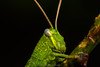 Green Grasshopper (madi_patub) Tags: grass grasshopper belalang bestpicture bestmacro bestflickrphoto insect bugs green nikon nikond7200 nikonphotography nature portrait animals animal black20background macro closeup