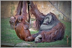 """""""Don't be frightened"""" it's only your Dad.!!! (ro-co (Back)) Tags: fz200 panasonic bioparkspain fuengirola zoo orangutan"""