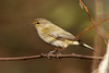 _F0A7890.jpg (Kico Lopez) Tags: galicia lugo miño mosquiterocomún phylloscopuscollybita spain aves birds rio