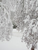 Heavy Snow Branches 2 - Snowpocalypse 2017_04 (JamesInDigital) Tags: snowy snowing snowday snowpocalypse winter winterweather winterstorm nikon nikonp900 oregon clackamas pdx pdxsnow portland oregonweather oregonphotography nikonphotography nikonphotographer nikonshooter outdoors outside tree trees snowytrees
