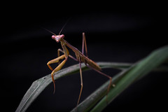 Mantis religiosa (Gabriel - Casa del Píxel) Tags: insecto macro lyneham australiancapitalterritory australia au