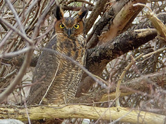great horned owl (sttweston) Tags: fz200 e17ed