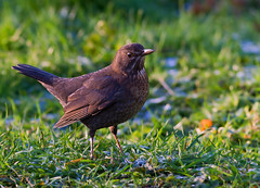 Female Eurasian blackbird (Turdus merula ) (Clive Brown 72) Tags: female hen blackbird wales ground grass thrush
