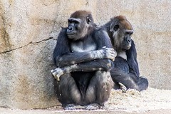 Quarrel happens everywhere (karthib19) Tags: ifttt 500px quarrel gorilla animal wildlife zoo quiet safari monkey family