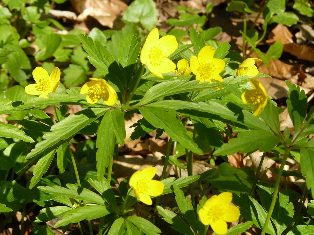 Anemone ranuculoides- Gelbes Buschwindröschen4