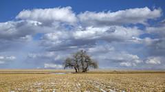 the mighty plains cottonwoods (eDDie_TK) Tags: colorado co bouldercountyco bouldercounty longmontco longmont plainscottonwood cottonwood trees coloradoseasternplains plains clouds sky