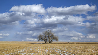 the mighty plains cottonwoods