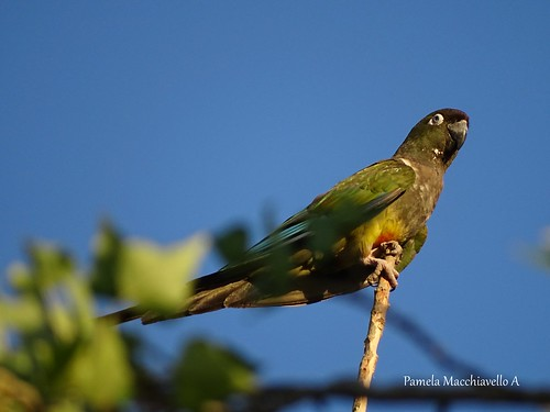 Tricahue parrot