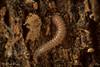 Millipede (Rhiscosomides sp.) (aliceinwl1) Tags: arthropod arthropoda ca california chordeumatida diplopoda figueroamountain lospadresnationalforest millipedes myriapod myriapoda rhiscosomatidae rhiscosomides santabarbaracounty locpublic viseveryone