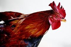 Let's Get COCKed !!!! (N A Y E E M) Tags: rooster cock backyard home today afternoon rabiarahmanlane chittagong bangladesh chinesenewyear