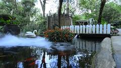 jinMOV_00013 天鵝 水面 池塘 水池 (侯錦鳳) Tags: 白天 金魚 倒影 紅色的花 天鵝 白色 水上 浪漫 煙霧 水面 池塘 水池
