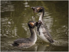 Crested Grebes 'Weed Dance' (Charles Connor) Tags: culturalbehaviour billinge england unitedkingdom gb crestedgrebes grebes courtshipdisplay display largebirds waterbirds birdphotography uknature naturephotography carrmilldam canon100400lens canon7dmk11