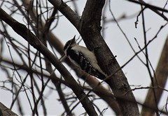 Clingy (marensr) Tags: downy woodpecker chicago nature tree branches sky march picoides pubescens park sunken garden