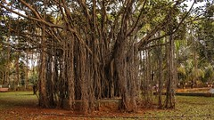 Banyan Tree, Vashi (richard_fernando) Tags: banyan vashi navi mumbai india peepal old huge nature beautiful powerful garden morning sagar vihar