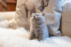 Everything is a marvel when you are little (mirri_inc) Tags: cat cats kitten kittens kitteh britishshorthair breed catbreeds baby light bokeh fairies airy magic magical wonder love lovely sweet beautiful nikkor nikon 35mm prime primelens aperture damncool