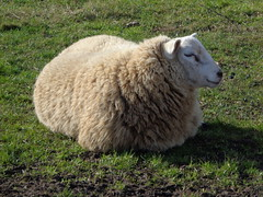 Photo of Sheep in Sleaford today