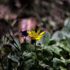 Ranunculus ficaria (ΞSSΞ®®Ξ) Tags: ξssξ®®ξ pentax k5 flower angle 2017 smcpentaxm50mmf17 yellow green depthoffield plant blossom garden outdoor ranunculusficaria lessercelandine