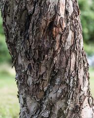Twisted (@lattefarsan) Tags: tree nature bark twisted