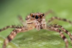 A little to your right please (affectatio) Tags: macro bug insect spider arachnid jumpingspider longlegs mpe65