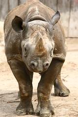 077 (anita.snellen) Tags: zoo krefeld rhinoceros dierentuin neushoorn
