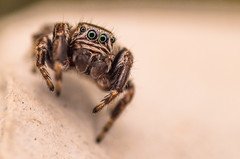 IMGP3698 (Gatapass) Tags: macro spider pentax tamron 90 dcr250 raynox k30 saltique