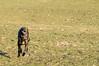 z o m b i e attack (VanaTulsi) Tags: dog weimaraner weim blueweimaraner vanatulsi blueweim