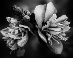 Things that Grow in the Yard (alhawley) Tags: blackandwhite bw stilllife abstract flower macro texture monochrome pentax bokeh naturallight manualfocus k3 2015 pentaxlimited bokehlicious smcpentaxfa31mmf18allimited falimited pentaxlife justpentax silverefex pentaxart lightroom5 pentaxk3 limitedsilveredition