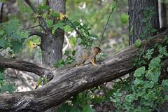 Fox Squirrel with Acorns_2635 (Porch Dog) Tags: nature animal squirrel kentucky wildlife fx 2015 landbetweenthelakes lbl betweentherivers garywhittington nikond750 nikon200500mm