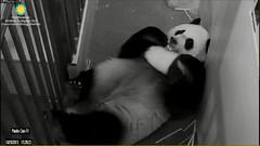Bei-Mom, I'm not a winter muff (partipersian) Tags: mom mei pandas bei meixiang pandacub beibei