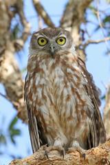 Barking Owl (Janis May) Tags: northernterritory barkingowl foggdam