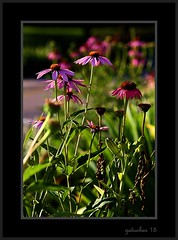 A Purple Party (the Gallopping Geezer 3.5 million + views....) Tags: life flower mi rural canon michigan country petal bloom roadside tamron arrangement smalltown geezer corel 6d 28300 curbside 2015 columbiaville