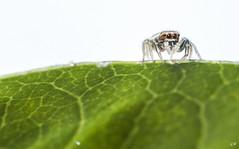 Araigne saltique (2). (gille33) Tags: macro nature insect insecte insectes araigne araneae araignee arachnide aranea sigma150 saltique nikond810 gillesremus