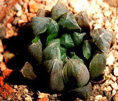 Haworthia (Skolnik Collection) Tags: season succulent dry haworthia in skolnik