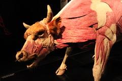 Science World - October 15, 2015 (rieserrano) Tags: bull bodyworlds plastination
