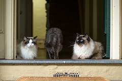 Where are you going, Teddy? (shan.yew) Tags: cat zoe chat teddy kitty gato katze emmie gatto ragdoll exoticshorthair