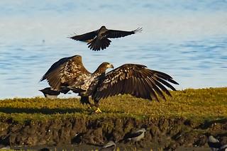 Whitetailed eagle 2015-10-18_15 [Explored 2015-11-22]