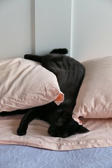 Caska (Daisuke Ido) Tags: black cat bed pillows gatto nero letto caska cuscini catmoments