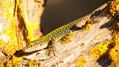 Working On The Suntan (Coquine!) Tags: sardegna italien italy green yellow italia sardinia lizard chia gelb lichen grün sardinien eidechse flechten christianleyk