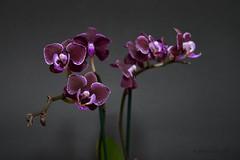 DSC_0160_2048 (a.marquespics) Tags: orchid nikon mini phalaenopsis 2870mmf3545d orquídea púrpura 2870 d610