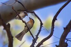 0I6A7830 Leaden Flycatcher (Female feeding on just-fledged young) (copsychus) Tags: bird birds australia breeding canberra act nesting 2015 leadenflycatcher pineislandreserve