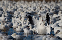 Hallelujah it is the Weekend! (Happy Photographer) Tags: winter birds wings wildlife flock national bosquedelapache refuge rossgeese amyhudechek nikon200500f56