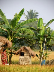 sundarbans73_2015-11-27_07-37 (juggadery) Tags: people india rural work countryside thatchedroof agriculture bengal westbengal 2015 sundarbans kutchahouse