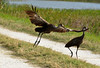 LIMPKIN TERRITORIAL DEFENCE (concep1941) Tags: nature birds outdoor lakes swamps limpkinfamily freshwatermarshes