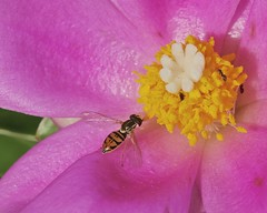 Flower Fly on Rose Cactus (tex-anne) Tags: flowerfly hoverfly insect pereskiagrandifolia rosecactus syrphidfly toxomerusmarginatus